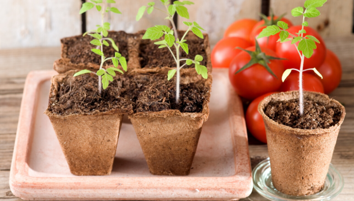 Grow Your Own Tomato Plants
